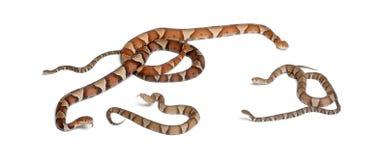 Copperhead Schlange oder Hochlandmokassin Stockfoto
