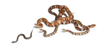 Copperhead Schlange oder Hochlandmokassin Lizenzfreies Stockfoto