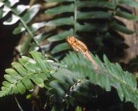 Copperhead Serpente-Do norte Foto de Stock