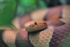 Copperhead snake Stock Photos
