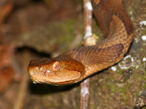 Copperhead Snake (Agkistrodon contortrix) Royalty Free Stock Images
