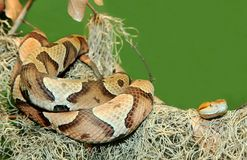 Copperhead Snake Coiled on Tree Limb Stock Photo