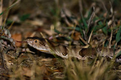 Copperhead Snake Forked Tongue Poison Pit Viper Royalty Free Stock Images