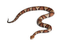 Copperhead snake or highland moccasin Royalty Free Stock Photography