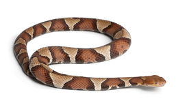 Copperhead snake or highland moccasin Royalty Free Stock Images