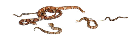 Copperhead snake or highland moccasin Stock Images