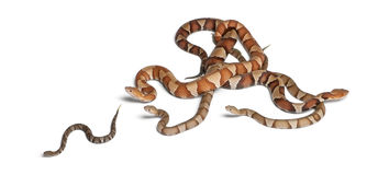 Copperhead snake or highland moccasin Royalty Free Stock Photo