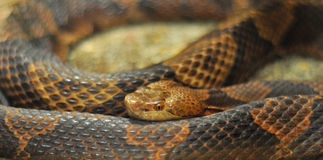 Copperhead snake reptile coiled Royalty Free Stock Photography
