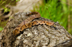 Copperhead Snake in the Swamp. Copperhead Snake basking on a log in the Swamp Royalty Free Stock Photo