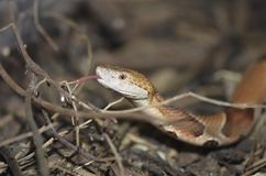 Copperhead tongue Royalty Free Stock Images
