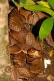 Copperhead wąż (Agkistrodon contortrix) Obraz Royalty Free
