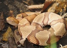 Copperhead wąż, Agkistrodon contortrix phaeogaster Zdjęcia Royalty Free