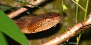 copperhead węża stan jednoczący Zdjęcia Royalty Free