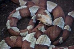 Copperhead & x28; Agkistrodon contortrix& x29; Zdjęcie Royalty Free