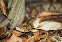 Copperheadbewegingen door bladeren stock foto