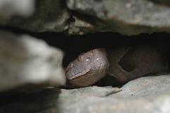 Copperhear In A Crevice Stock Photos