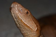 Copperhead snake Royalty Free Stock Images