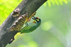 Coppersmith barbet. Bird of Thailand background Stock Photos