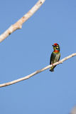 Coppersmith barbet Royalty Free Stock Images