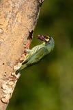 Coppersmith barbet Stock Photo