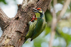 Coppersmith Barbet alerted by noises. From somewhere Royalty Free Stock Photo