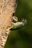 Coppersmith barbet Royalty Free Stock Image