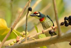 Coppersmith barbet Stock Photography