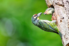 Coppersmith barbet bird Stock Image