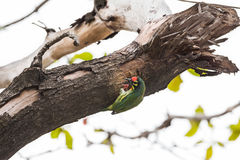 The coppersmith barbet bird Royalty Free Stock Photography