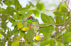 Coppersmith Barbet bird finding the food Stock Photo