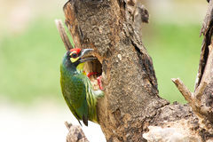 coppersmith barbet bird Royalty Free Stock Image