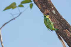Coppersmith Barbet Bird Royalty Free Stock Photo