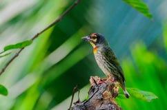 Coppersmith Barbet bird (Megalaima haemacephala) Stock Images