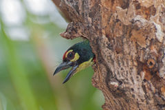 Coppersmith Barbet bird (Megalaima haemacephala). Looking out of it's nest Stock Image