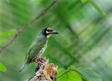 Coppersmith Barbet bird (Megalaima haemacephala). Sitting on tree trunk Stock Photos