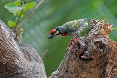 Coppersmith Barbet bird (Megalaima haemacephala) Stock Photo