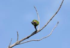 Coppersmith Barbet bird ready to fly toward camera Stock Photography