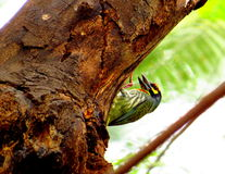 Coppersmith Barbet Royalty Free Stock Photography