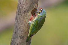 Coppersmith barbet Royalty Free Stock Photo