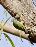 A  coppersmith barbet at its nest Stock Images