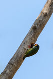 Coppersmith barbet Stock Photo