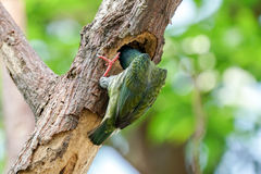 Coppersmith Barbet with its head inside a tree hole Stock Photos