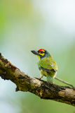 Coppersmith Barbet Stock Photos
