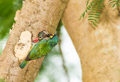 Coppersmith Barbet (Megalaima haemacephala)bird feeding her chil Stock Photo
