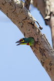 Coppersmith Barbet (Megalaima haemacephala)bird Stock Photography