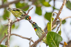 Coppersmith Barbet (Megalaima haemacephala)bird fighting together Stock Photos