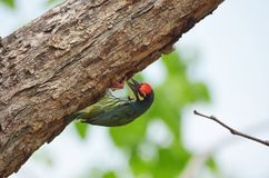 Coppersmith barbet perched Stock Photo