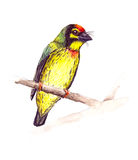 CoppersmithBarbet Arkivbilder
