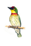 CoppersmithBarbet Royaltyfria Bilder