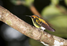 The Coppery-headed Emerald. (Elvira cupreiceps) is a small hummingbird endemic to Costa Rica Stock Photo